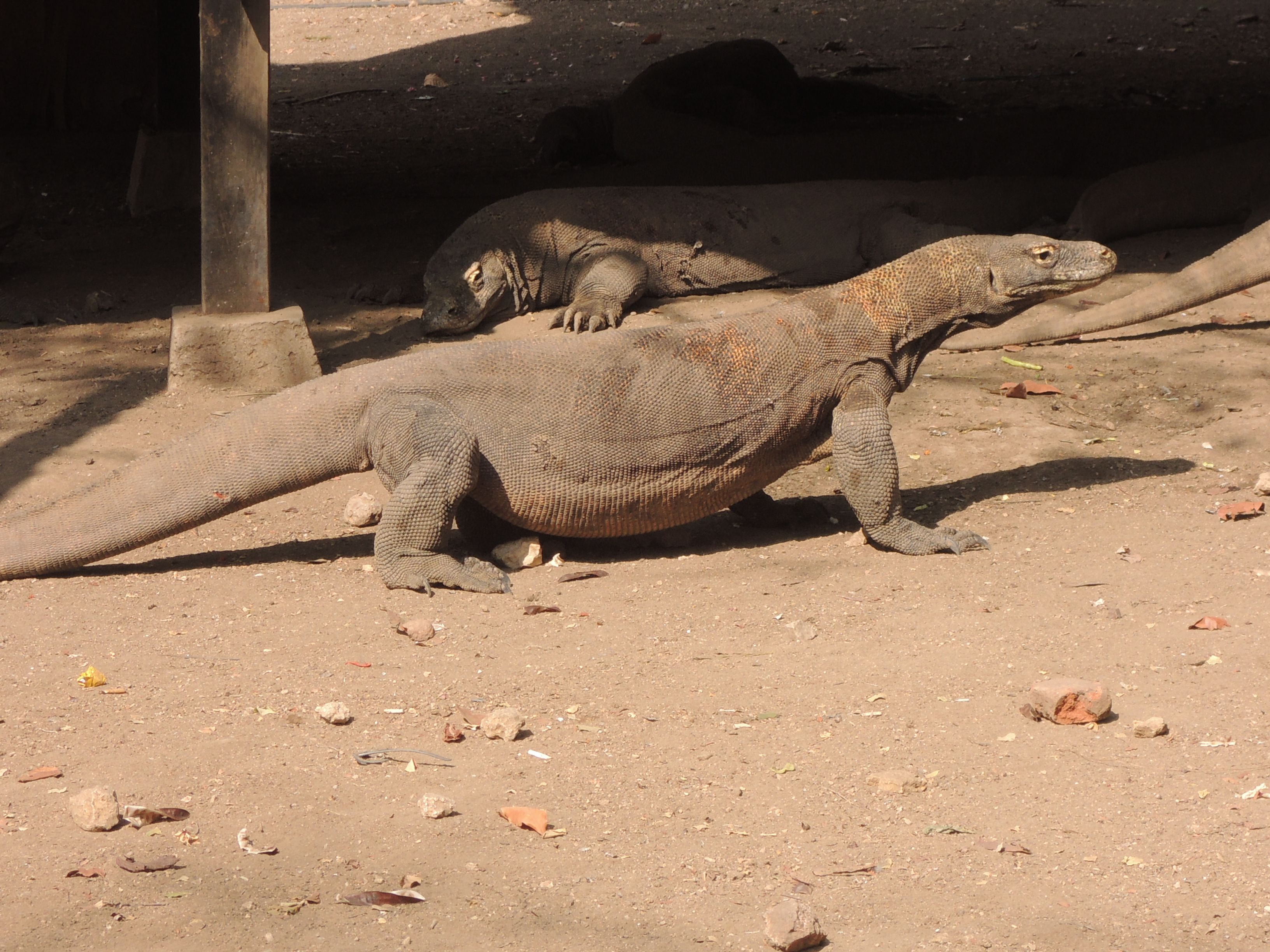 Komodo 21 - Flores Komodo overland
