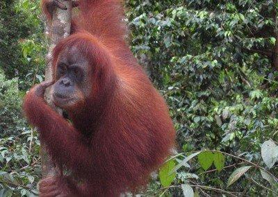Orangutan41 400x284 - Sumatra Reizen Specialist