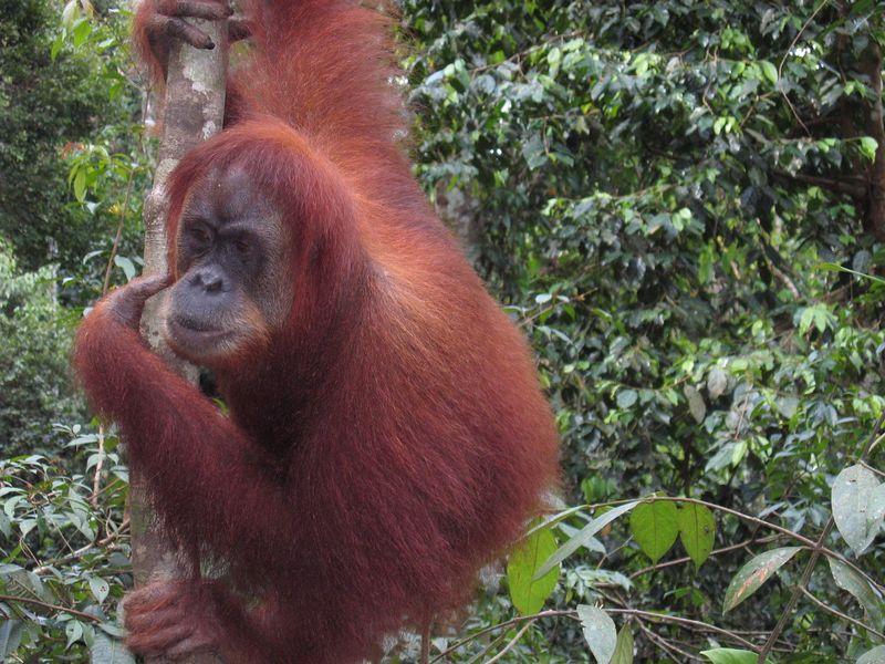 Orangutan41 - blog Page