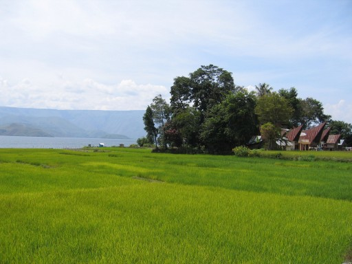 Rijstveld op Samosir aan Tobameer