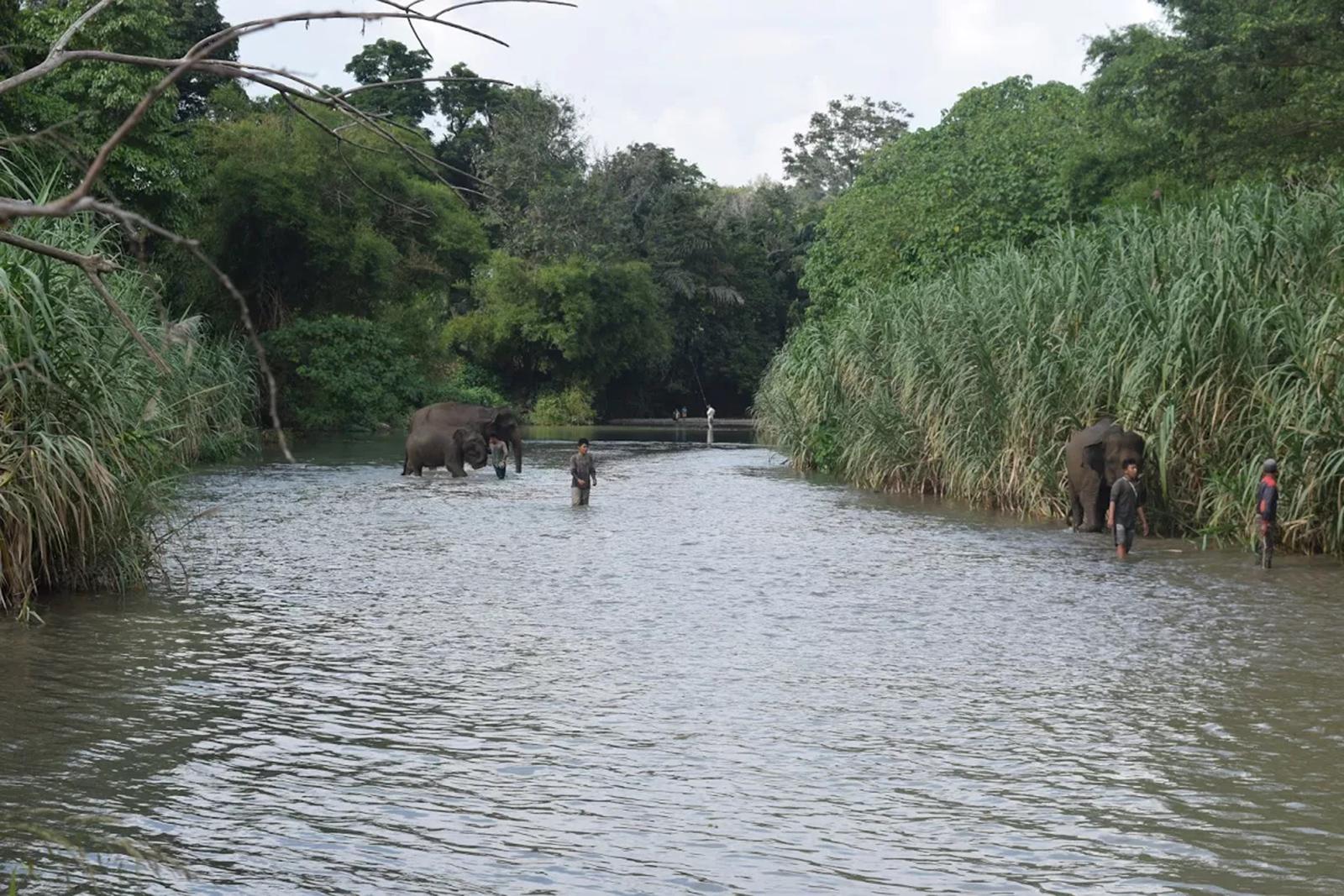 olifant tangkahan