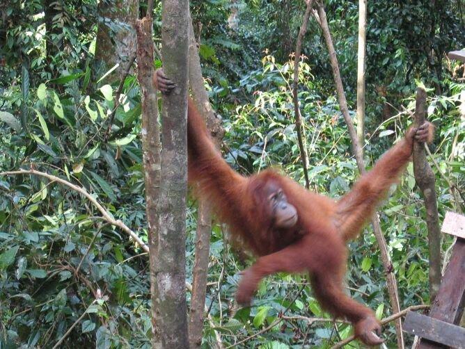 orangutan11 - Bohorok