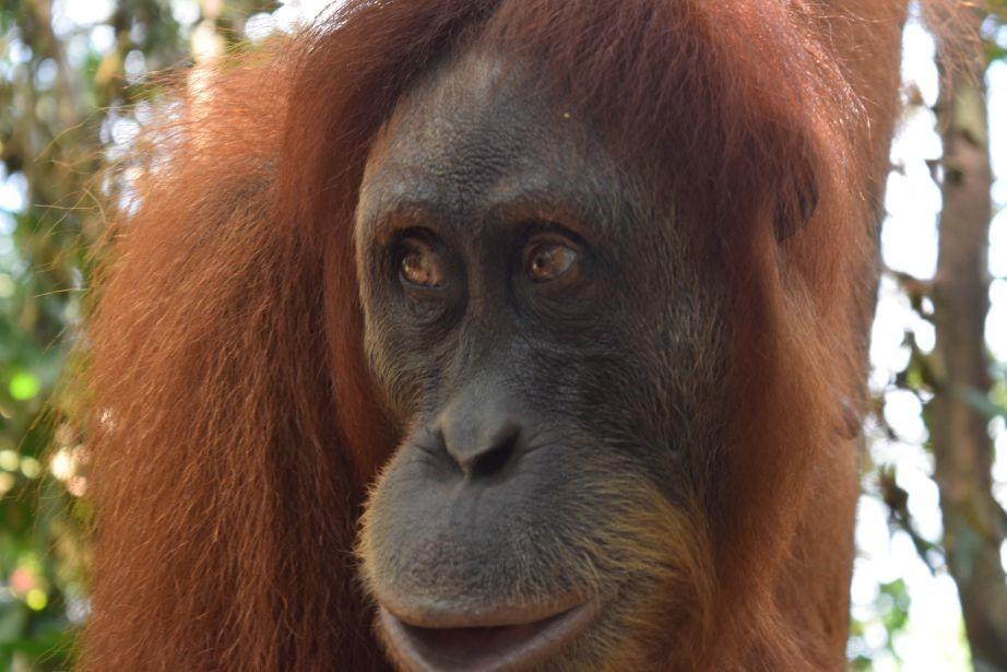 orangutans - Bohorok