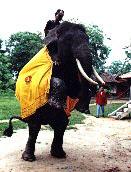 Way Kambas Elephants